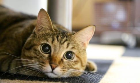 猫の去勢や避妊手術はペット保険適用される?補助金が出るって本当?