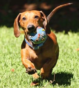 犬の外耳炎を徹底解説!犬の病気を正しく知ろう2