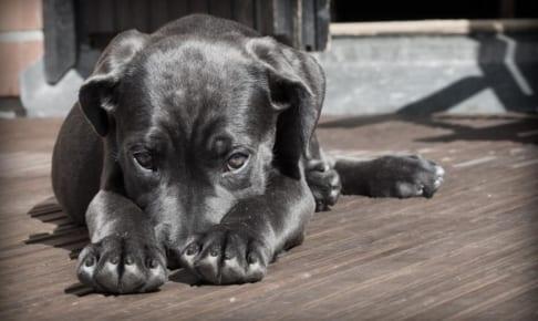 犬のチェリーアイを徹底解説!犬の病気を正しく知ろう