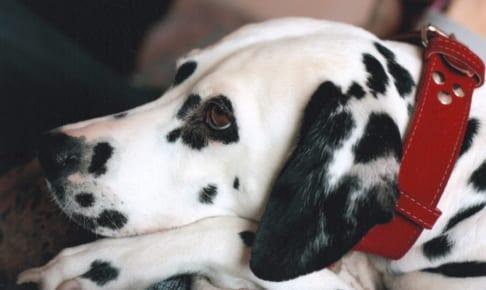 犬の鉤虫症を徹底解説!犬の病気を正しく知ろう