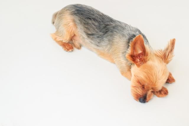 犬の心室中隔欠損症を徹底解説!犬の病気を正しく知ろう