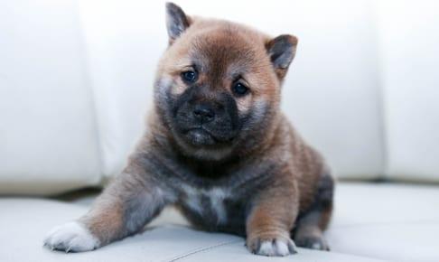 犬のケンネルコフ(伝染性気管気管支炎)を徹底解説!犬の病気を正しく知ろう