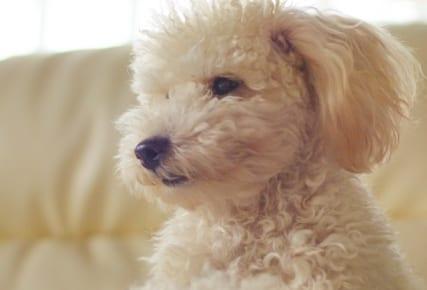 犬の天疱瘡を徹底解説!犬の病気を正しく知ろう