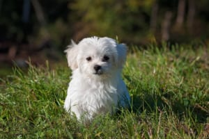 犬のアジソン病(副腎皮質機能低下症)を徹底解説!犬の病気を正しく知ろう