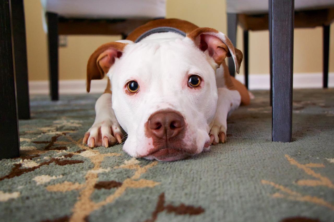 犬の口腔内悪性黒色腫(メラノーマ)を徹底解説!犬の病気を正しく知ろう