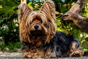 犬の認知症(痴呆・認知機能不全症候群)を徹底解説!犬の病気を正しく知ろう