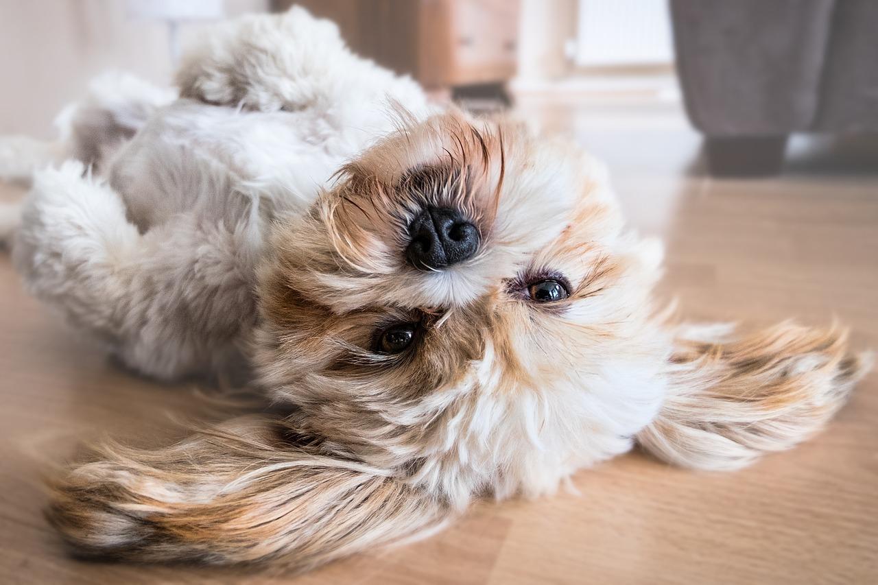 犬の心不全(心臓病)を徹底解説!犬の病気を正しく知ろう