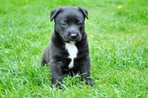犬の耳ダニ感染症(耳疥癬・ミミヒゼンダニ感染症)を徹底解説!犬の病気を正しく知ろう