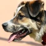 犬のバベシア症を徹底解説!犬の病気を正しく知ろう
