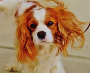 犬の僧帽弁閉鎖不全症を徹底解説!犬の病気を正しく知ろう1