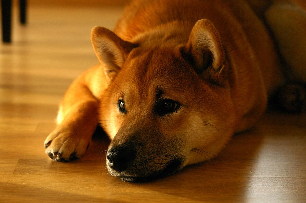 犬の股関節形成不全を徹底解説!犬の病気を正しく知ろう