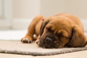 犬の偽妊娠(想像妊娠)を徹底解説!犬の病気を正しく知ろう