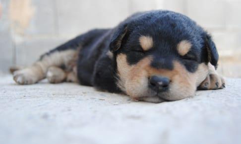 犬の短頭種気道症候群を徹底解説!犬の病気を正しく知ろう