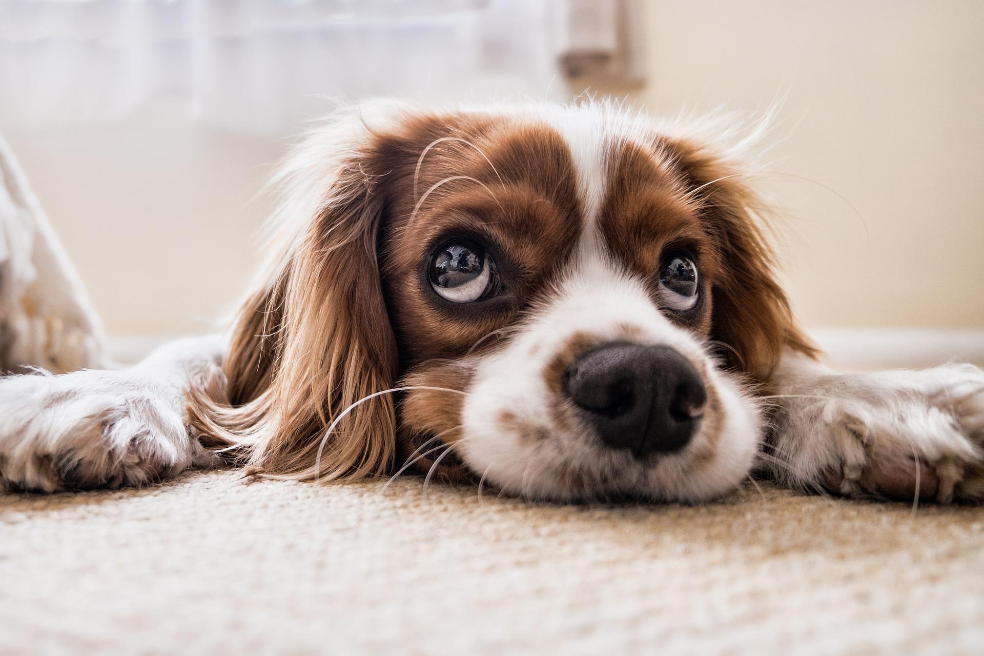 犬の環軸椎亜脱臼を徹底解説!犬の病気を正しく知ろう