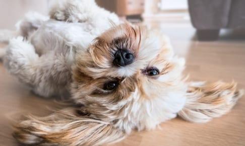 犬のブルセラ症を徹底解説!犬の病気を正しく知ろう