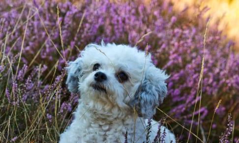 犬のマイボーム腺炎を徹底解説!犬の病気を正しく知ろう