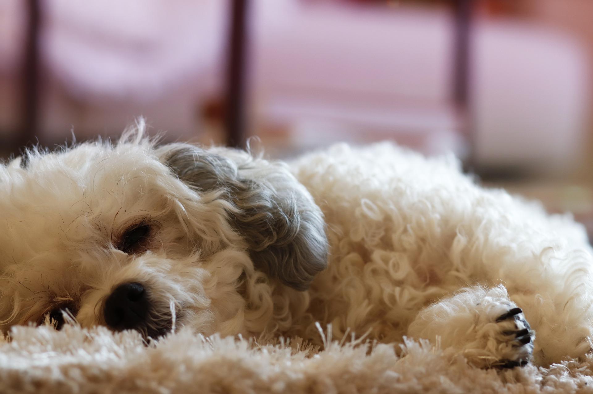 犬の乳腺炎について徹底解説!犬の病気を正しく知ろう