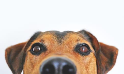 犬のホルネル症候群について徹底解説!犬の病気を正しく知ろう