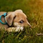 犬の肺動脈狭窄症を徹底解説!犬の病気を正しく知ろう
