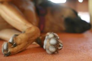 犬の前十字靭帯断裂を徹底解説!犬の病気を正しく知ろう