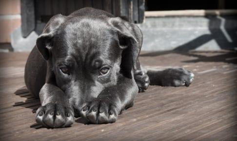 犬の拡張型心筋症を徹底解説!犬の病気を正しく知ろう