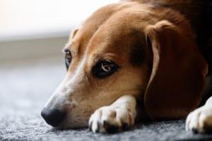 ビーグルにおすすめのペット保険は?病気・ケガ・性格も解説