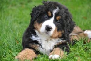 バーニーズ・マウンテン・ドッグにおすすめのペット保険は?病気・ケガ・性格も解説