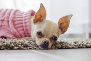 犬の肝炎を徹底解説!イヌの病気を正しく知ろう