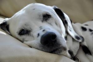 犬の耳腫瘍を徹底解説!犬の病気を正しく知ろう