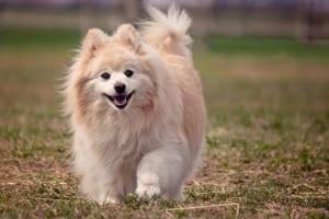 犬のアロペシアX(脱毛症X)を徹底解説!犬の病気を正しく知ろう