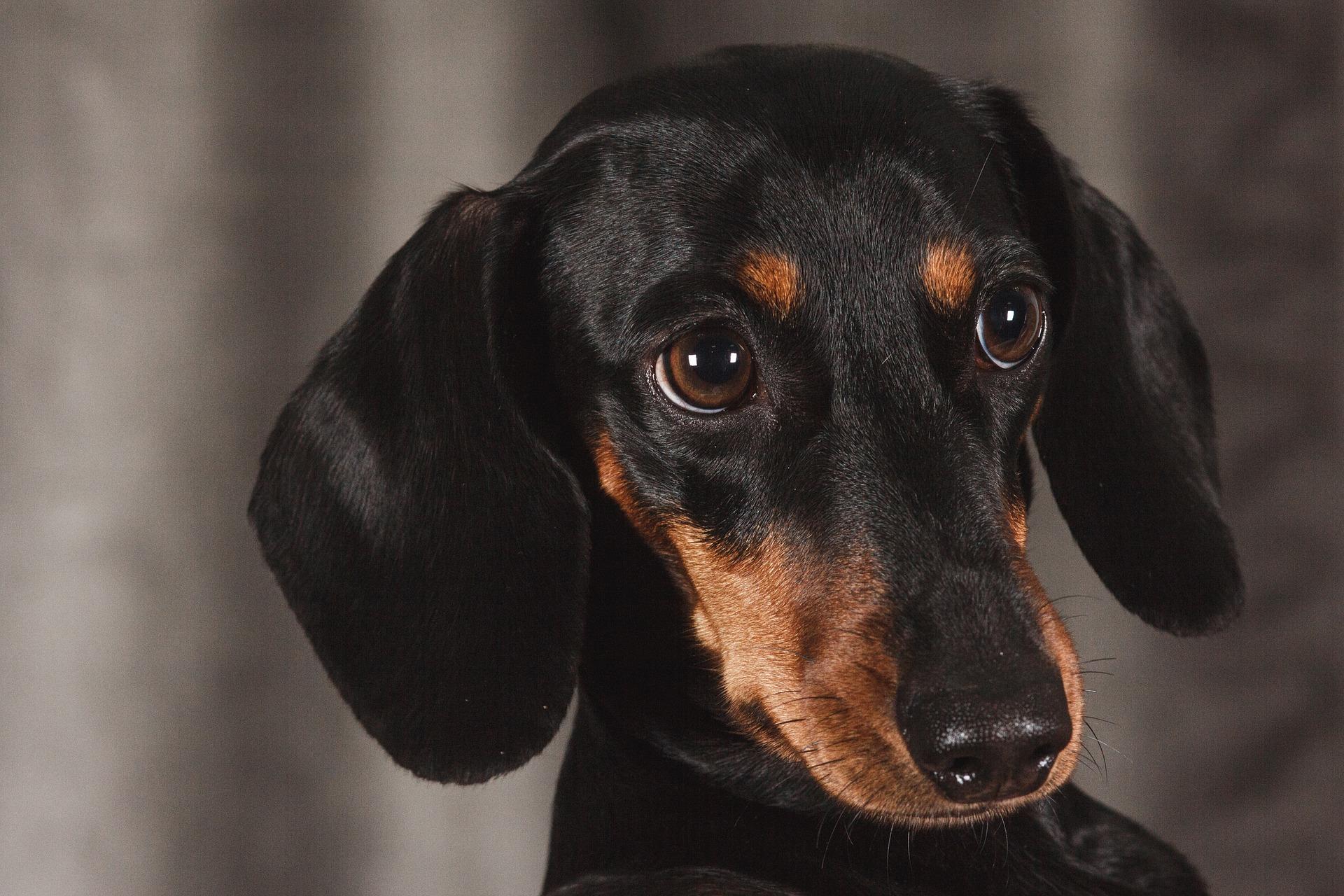 ミニチュア・ダックスフンドにおすすめのペット保険は?病気・ケガ・性格も解説