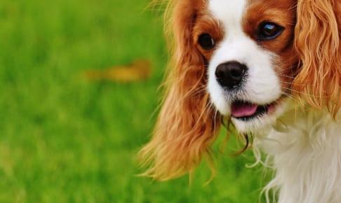 犬のトキソプラズマ症を徹底解説!犬の病気を正しく知ろう