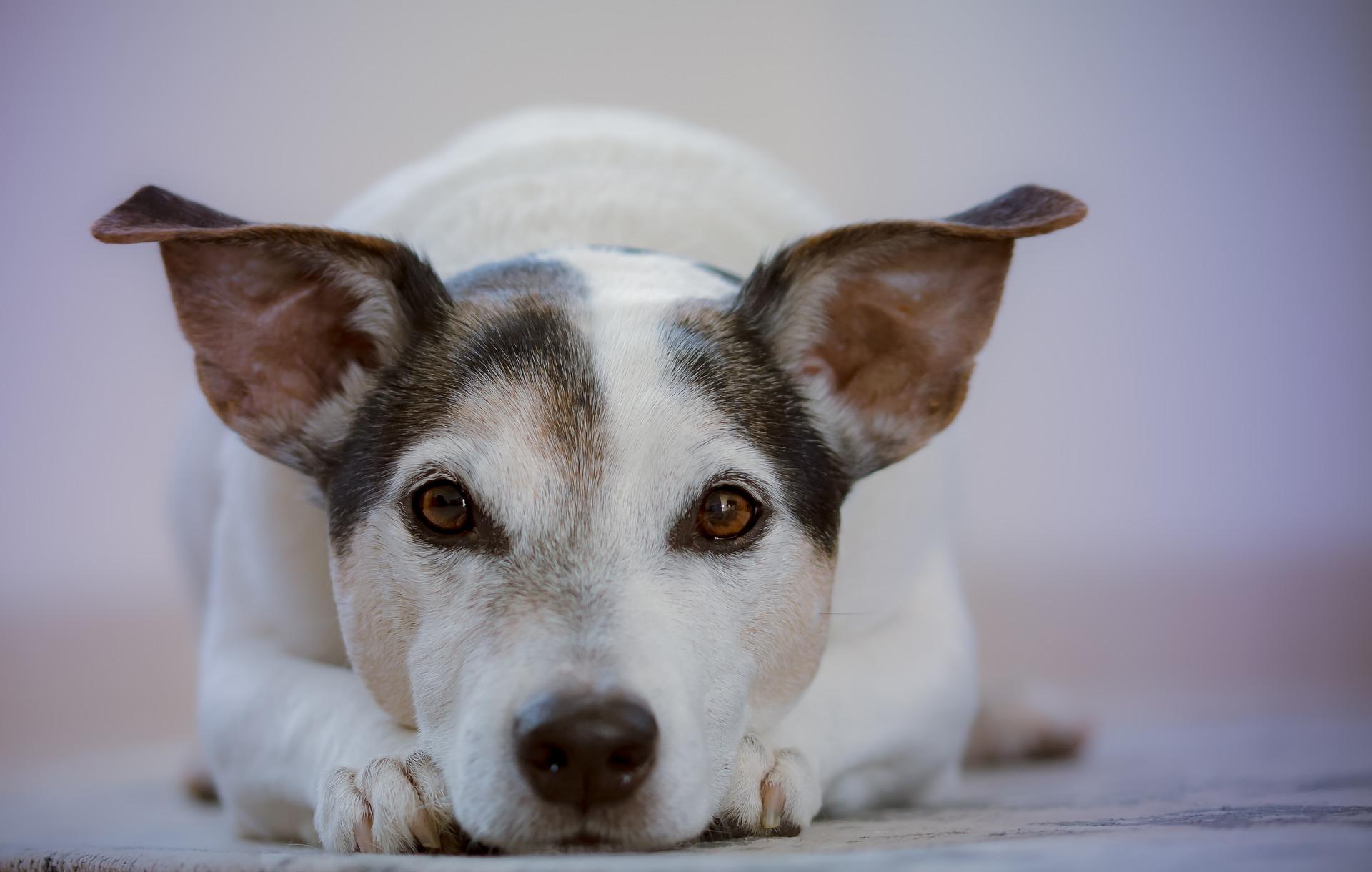 犬の眼瞼炎を徹底解説!犬の病気を正しく知ろう