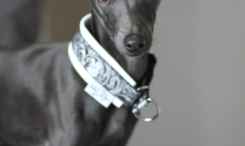 イタリアン・グレーハウンドにおすすめのペット保険は?病気・ケガ・性格も解説