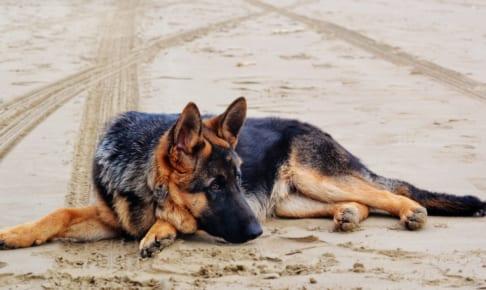 ジャーマン・シェパード・ドッグにおすすめのペット保険は?病気・ケガ・性格も解説