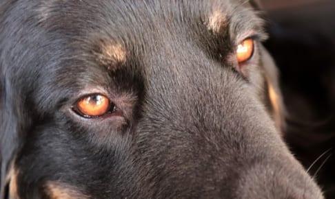 犬の核硬化症を徹底解説!犬の病気を正しく知ろう