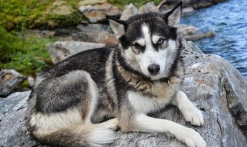 シベリアンハスキーにおすすめのペット保険は?病気・ケガ・性格も解説