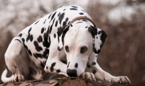 ダルメシアンにおすすめのペット保険は?病気・ケガ・性格も解説