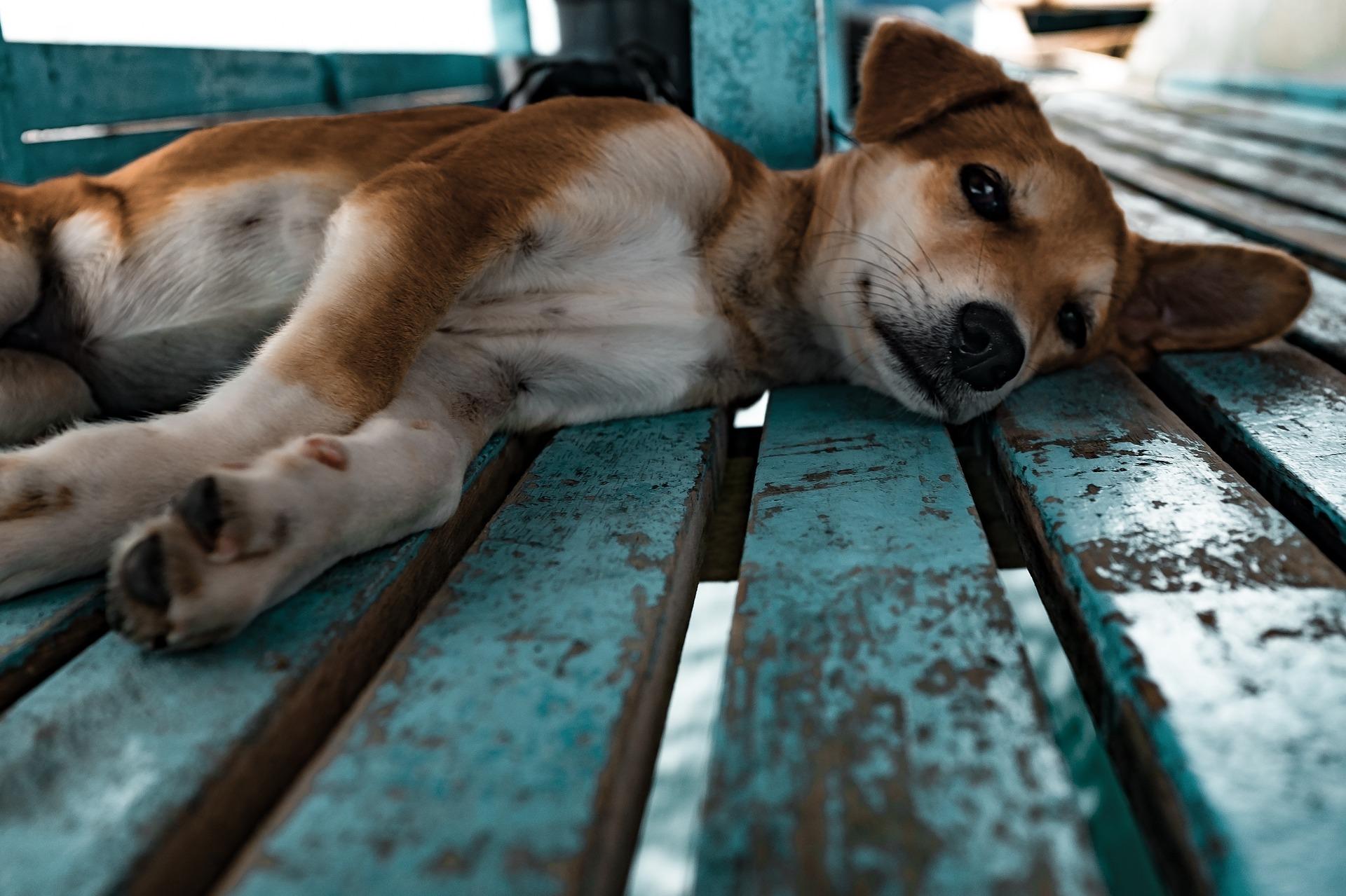 犬の血小板減少症を徹底解説!犬の病気を正しく知ろう