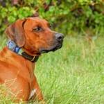犬の免疫介在性溶血性貧血を徹底解説!犬の病気を正しく知ろう