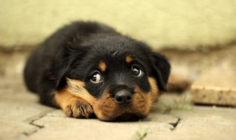 犬の逆さまつげを徹底解説!犬の病気を正しく知ろう