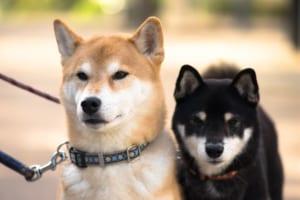 柴犬におすすめのペット保険は?病気・ケガ・性格も解説