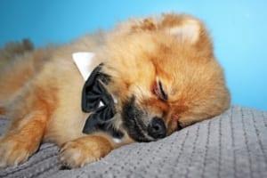 犬のナルコレプシーを徹底解説!犬の病気を正しく知ろう