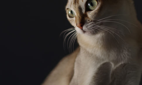シンガプーラにおすすめのペット保険は?病気・ケガ・性格も解説