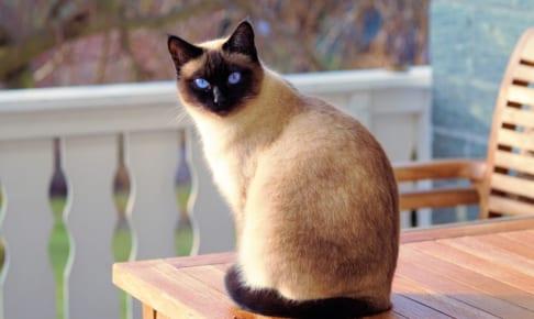 シャム猫におすすめのペット保険は?病気・ケガ・性格も解説