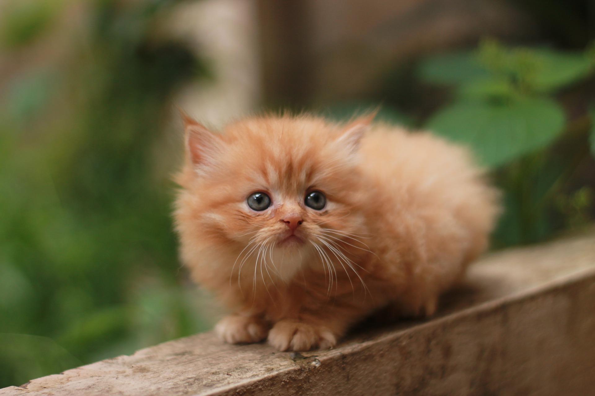 ペルシャ猫におすすめのペット保険は?病気・ケガ・性格も解説