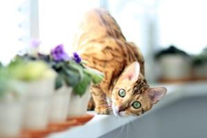 ベンガル猫におすすめのペット保険は?病気・ケガ・性格も解説