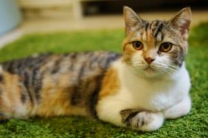 日本猫におすすめのペットに保険は?病気・ケガ・性格も解説