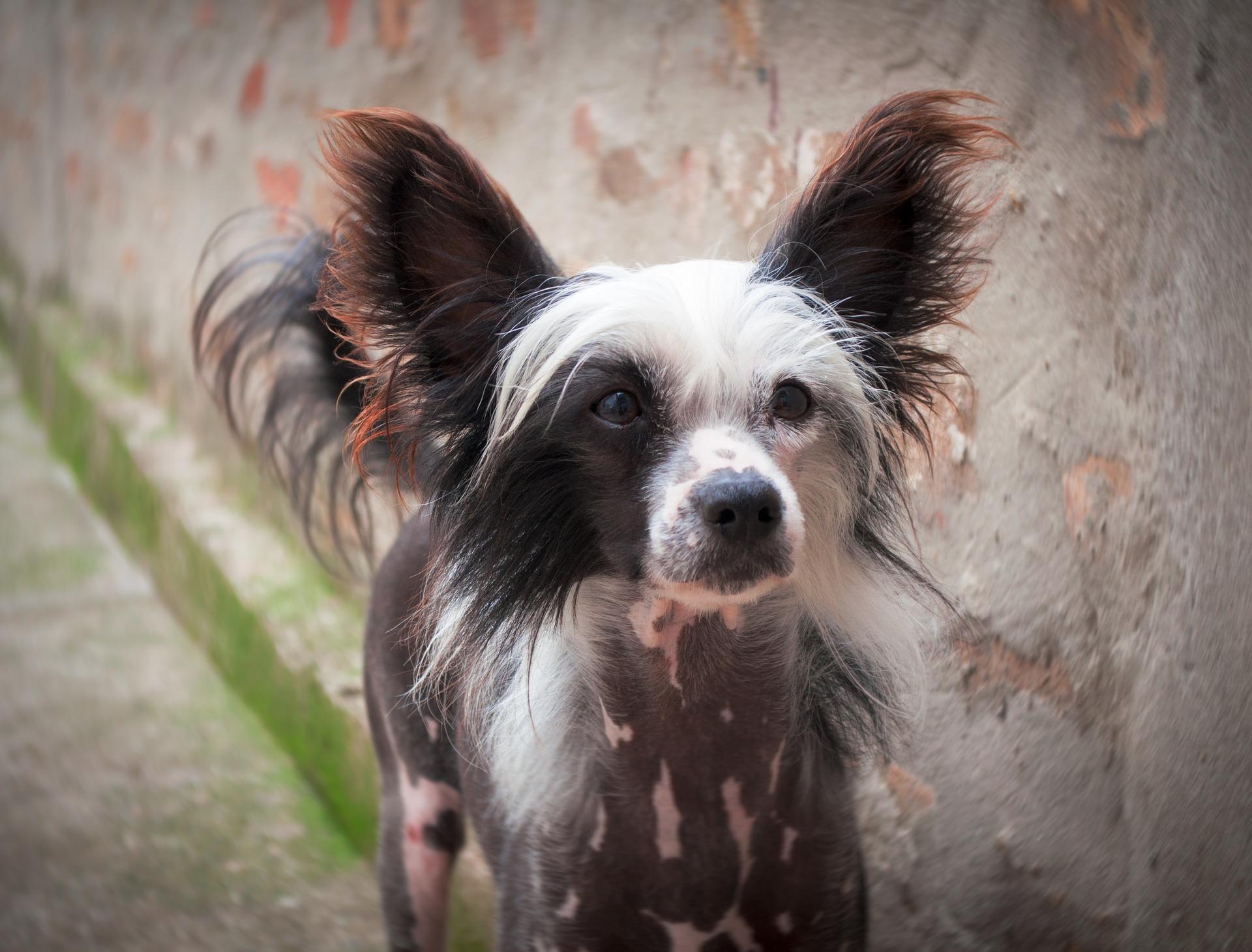 チャイニーズ・クレステッド・ドッグにおすすめのペット保険は?病気・ケガ・性格も解説