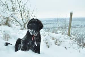ニューファンドランドにおすすめのペット保険は?病気・ケガ・性格も解説